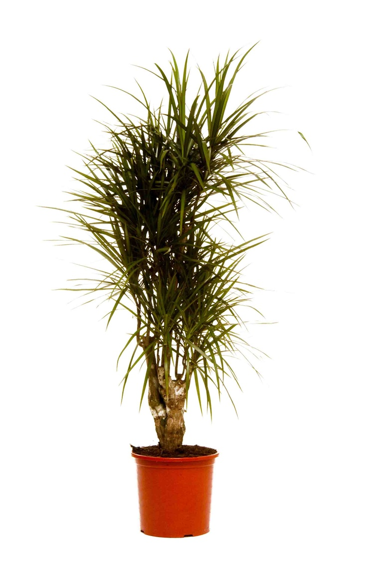 10 best images about our top 10 office plants on pinterest for Dracaena marginata