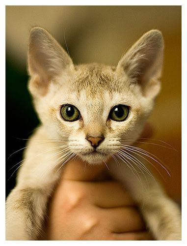 Singapura kitten - so cute :)