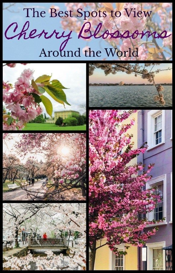 Where To See Cherry Trees In Spring Around The World Travel The World Quotes Around The Worlds World