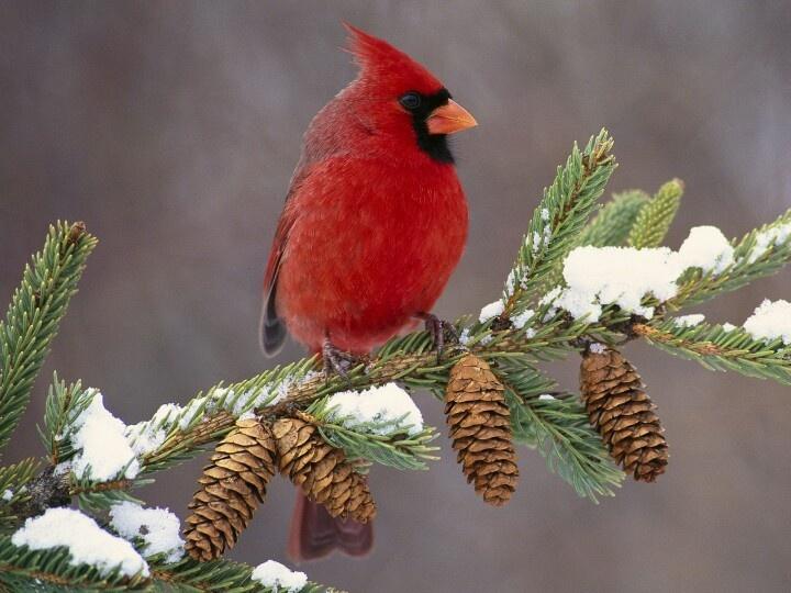 CARDINALS  BIRD                                                                                                                                                                                 More