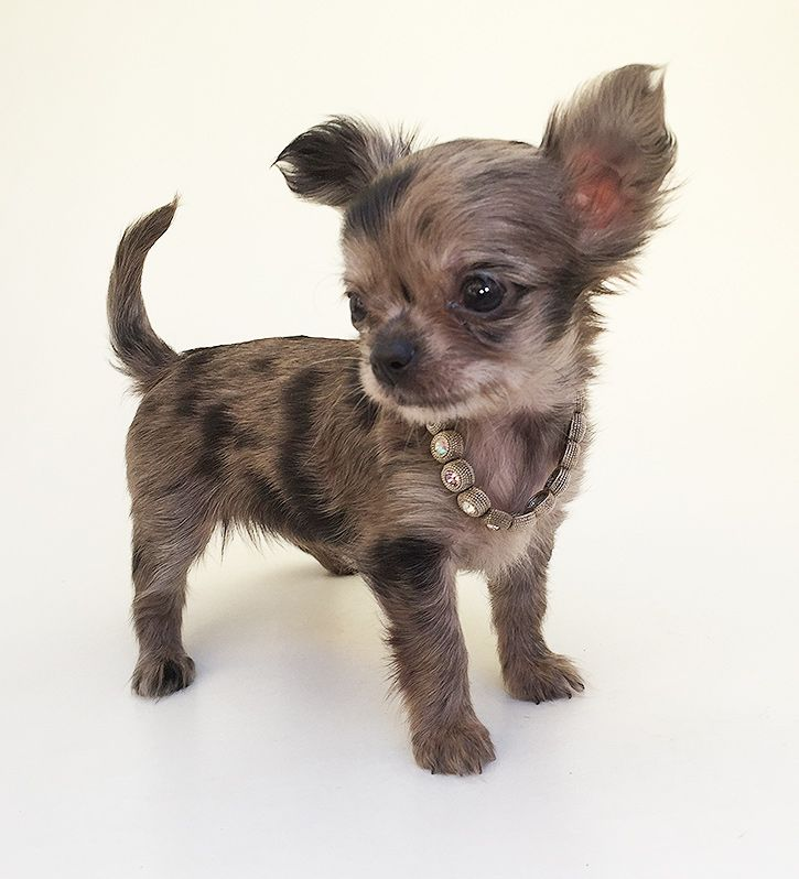 Found On Bing From Sweetiepiepets Comhersealspuppy Chihuahua
