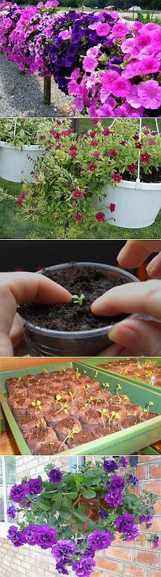 Как вырастить петунию на даче | Дача - впрок