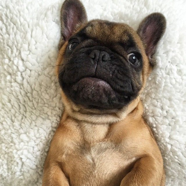 'That face!!', French Bulldog Puppy