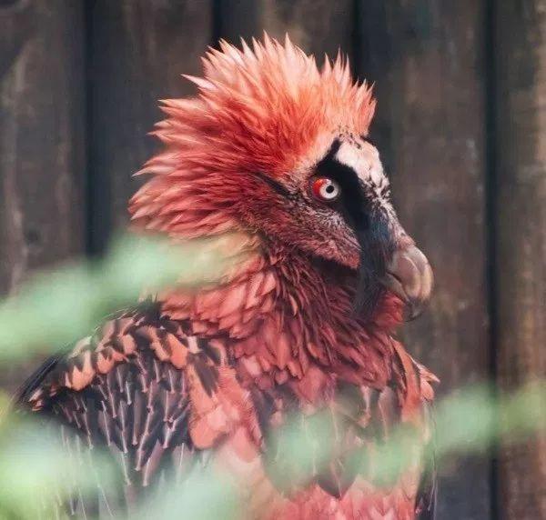 Bartgeier5 – BartgeierSagt, einer der seltensten Vögel der Welt zu sein …   – Odd LookingAnimals