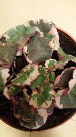 Van Stekkie tot Plant: Saxifraga Stolonifera