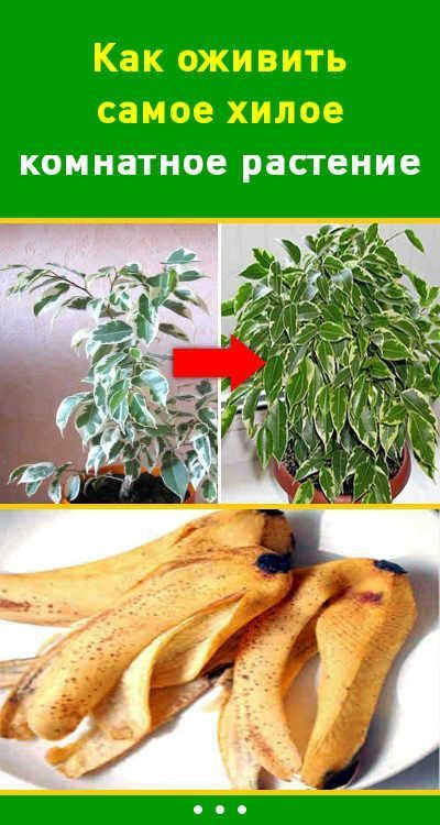 Как оживить самое хилое комнатное растение