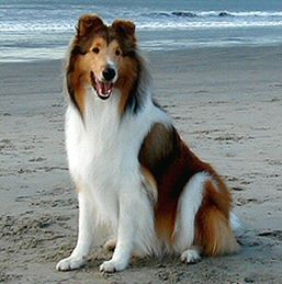 """Collie. Growing up I loved the show Lassie so much that I named my husky/shepard mix """"Lassie' lol...but maybe one day I will get to own a """"real"""" Lassie dog :)"""