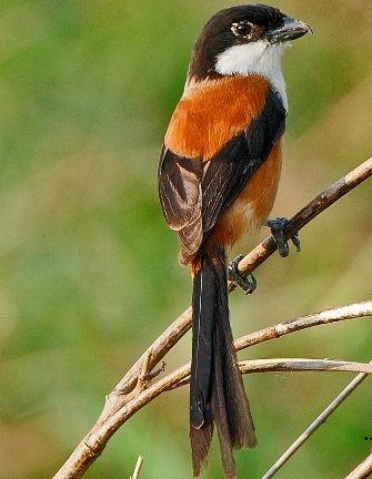 Free Download Mp3 Sound Chirping Bird Pentet