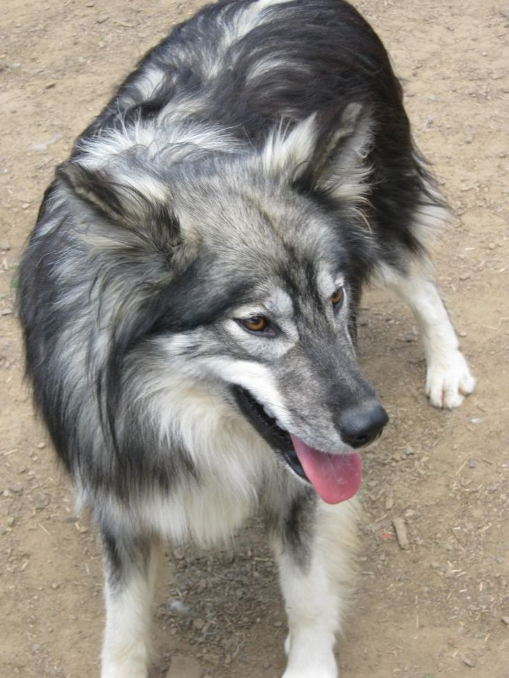 NOT A WOLF! it's a Native American Indian Dog... I want one so bad... they're absolutely stunning... they're big lap dogs that looks like wolves... it's my dream. dog