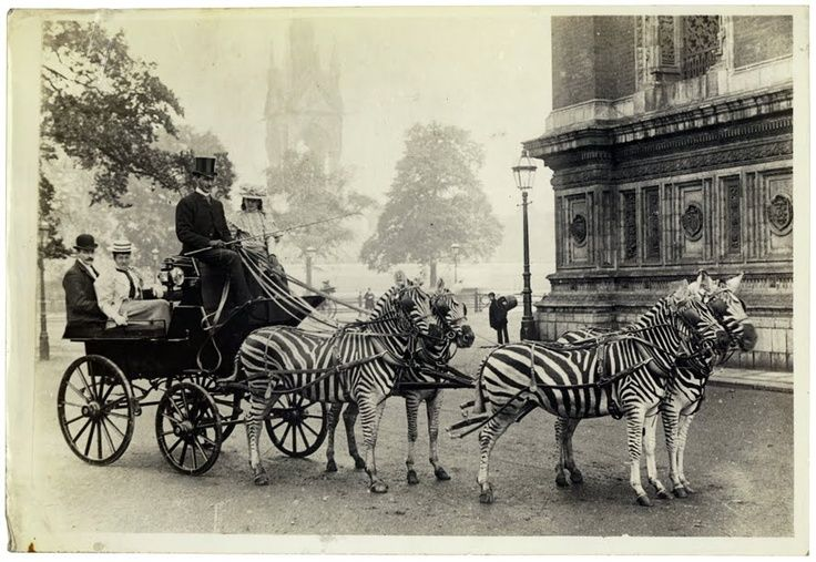 Josephine Dale Lace wasn't the only one that preferred to use zebras for their carriage as this zebra-drawn carriage driven by Lord Lionel Walter Rothschild shows. 1898 History, Zebras Carriage,