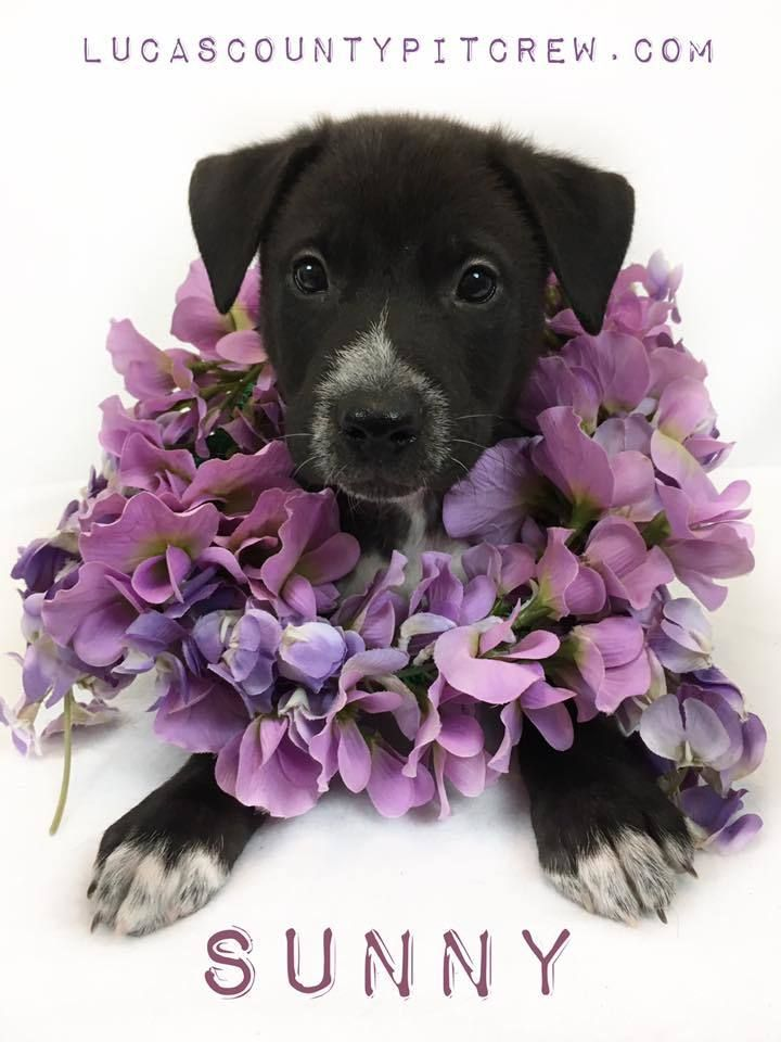 Adopt Sunny on Petfinder Shepherd mix dog, Labrador