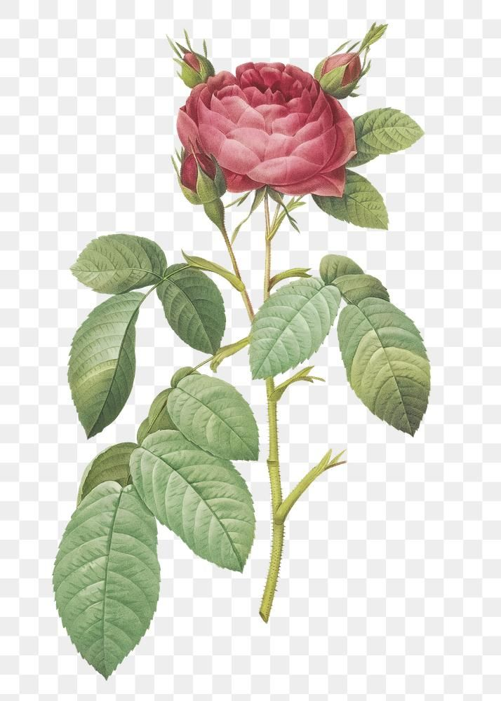 Vintage Rose Of Provins Transparent Png Free Image By Rawpixel Com Pink Flowers Background Vintage Roses Botanical Illustration