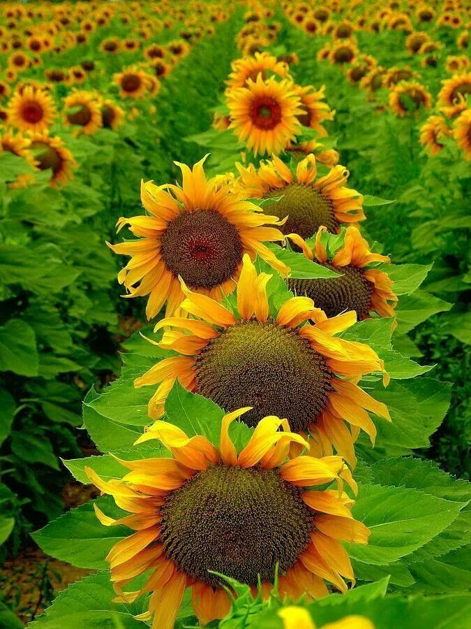 sunflowers in a row....                                                       …