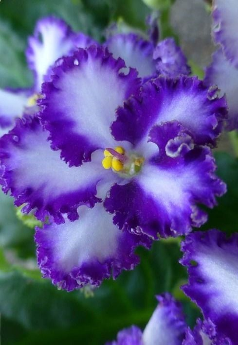 African Violet (Saintpaulia) Everfloris!   I had one of these years ago -- it was called Candy Lips.