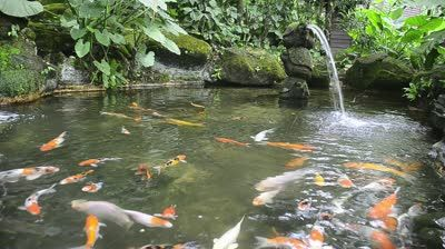 17 Best Images About Koi Pond And Koi Fish On Pinterest