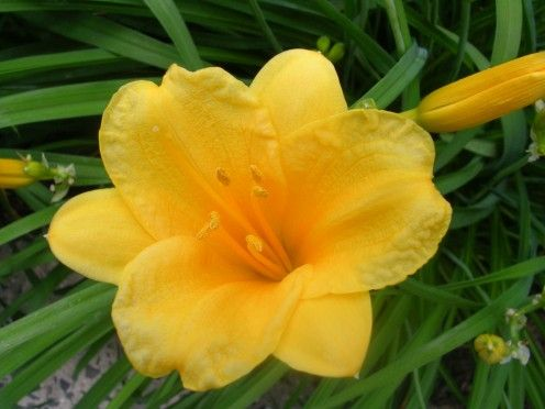 The golden, glorious Stella de Oro daylily. How to keep it blooming all season long.: De Oro, Seasons, Gardening Ideas, Daylilies Blooming, Season Long, Oro Daylilies