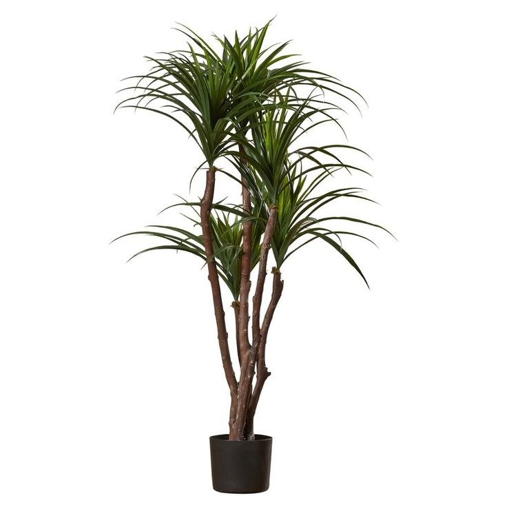 Tropical Yucca Tree in Pot