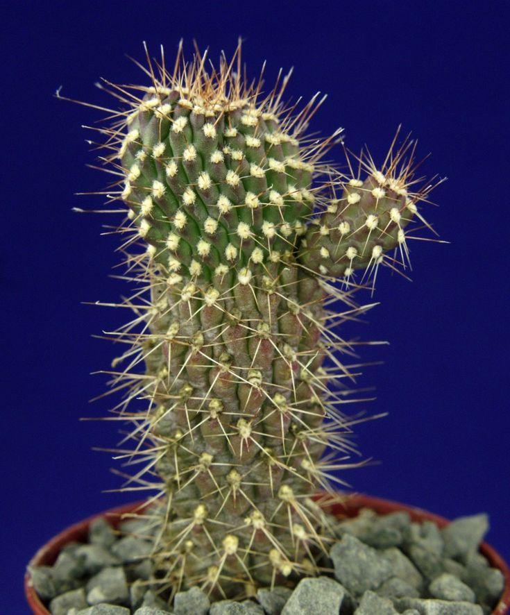 OPUNTIA FULGIDA MONSTROSA = cacti サボテン กระบองเพชร 仙人掌 kakteen #6914+ | eBay