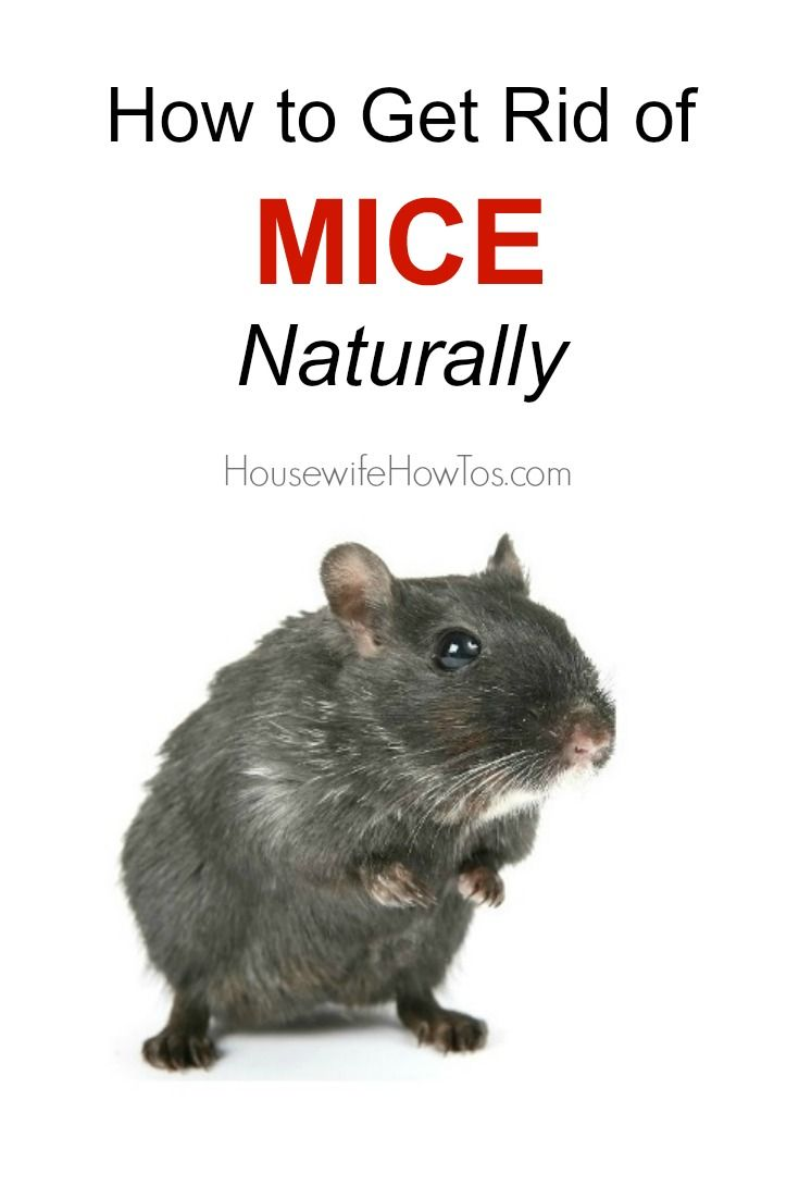 How To Get Rid Of Mice Naturally No Cat Required Getting Rid Of Mice Household Pests Mice Control