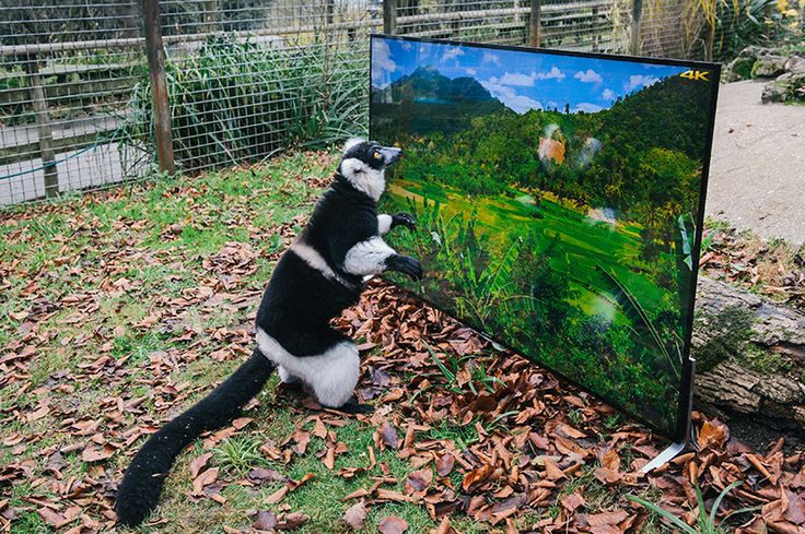 lemurs and langurs at port lympne reserve in kent came face-to-face with vivid images of nature projected on the sony BRAVIA X90C 4K ultra HD television.