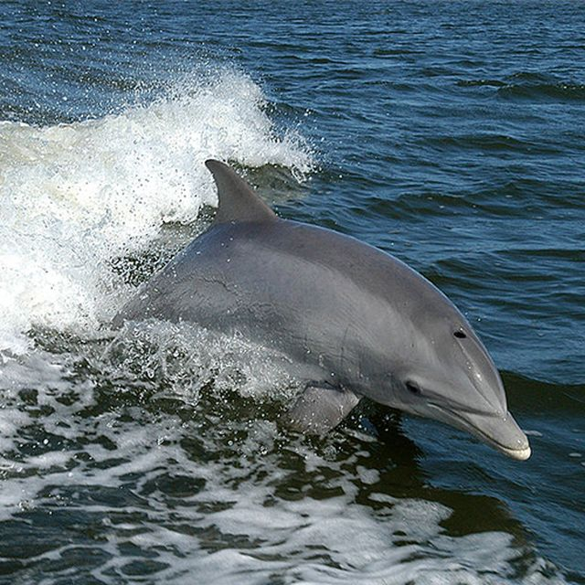 When to Watch Whales in California: What You'll See Might Surprise You: Bottlenose Dolphin