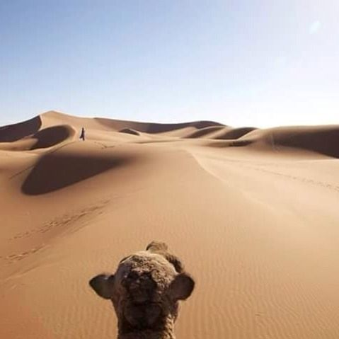 Camel view of the desert Sahara Morocco