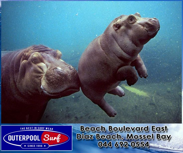 Hippos are susceptible to sunburn, and spend most of their days with just their noses out of water. Their noses have special flaps that close when submerged, and they can stay under water for 25 minutes. #Hippos #InterestingFacts