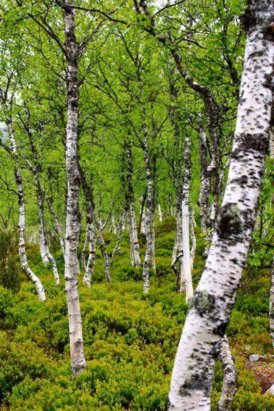 Birch Forest, Fossestien , Sogn og fjordane