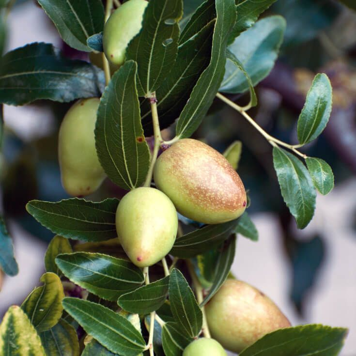 The Top 7 Health Benefits of Jujube Fruit, Including Better Digestion