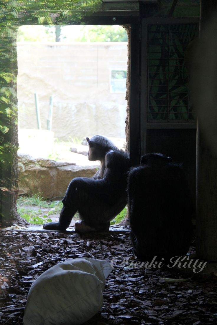 South Bend, Indiana zoo Chimps