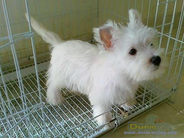 Westie pup