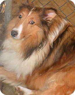 Bernese mountain dog mix shetland sheepdog and puppy for adoption