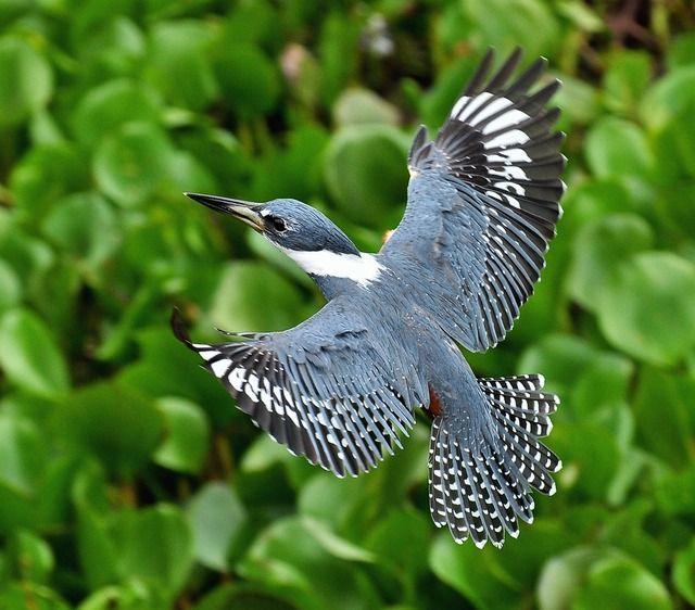 Foto martim-pescador-grande (Megaceryle torquata) por Oscar Abener Fenalti | Wiki Aves - A Enciclopédia das Aves do Brasil
