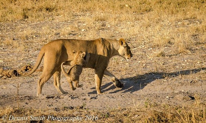 Watching the lions on the Jao Concession is endlessly rewarding, especially now that the cubs are so playful...