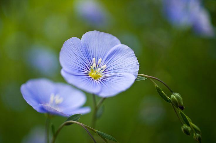 Linum perenne, le lin vivace - Une plante qui repousse chaque année et qui protège des limaces et des doryphores