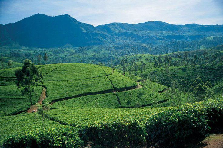 It was Ceylon (now Sri Lanka) that made tea famous in the 19th and 20th Centuries. #Ceylon #teaestate #mountains #dilmah #dilmahtea