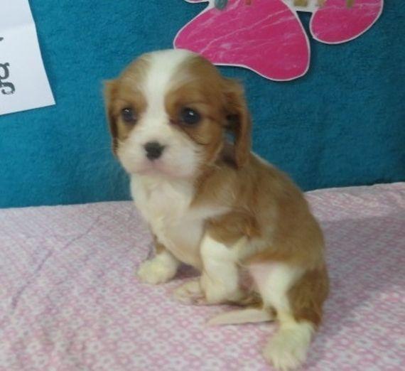 Desi Cavalier King Charles Spaniel Puppy 587727 Pupp King