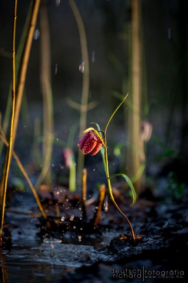 Kockás liliom az esőben. :)