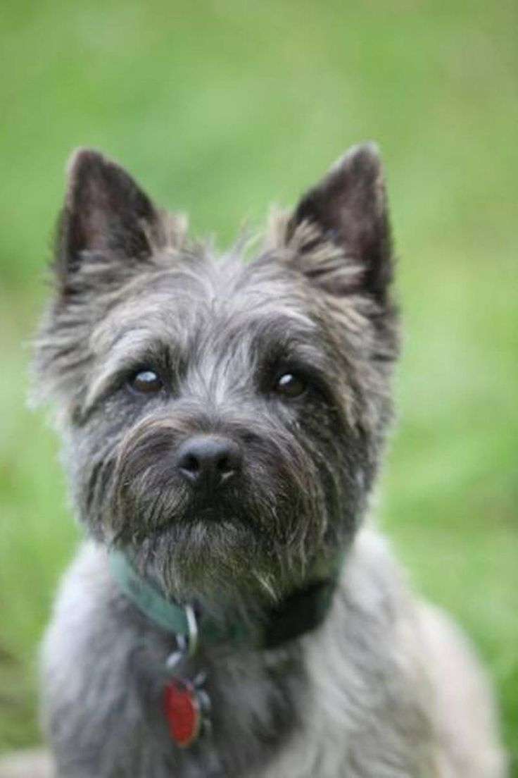 182 best cairn terriers images on pinterest | cairn terrier
