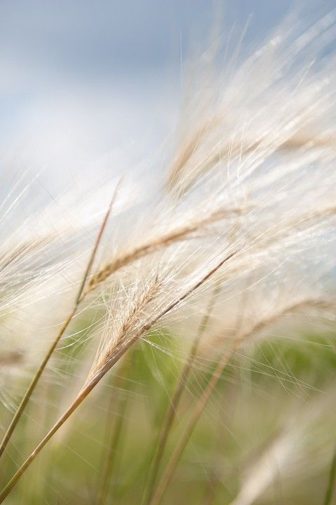 Photo of Wheat in Wind Entitled Wind's Sigh  Fine Art by CarlaDyck, $110.00