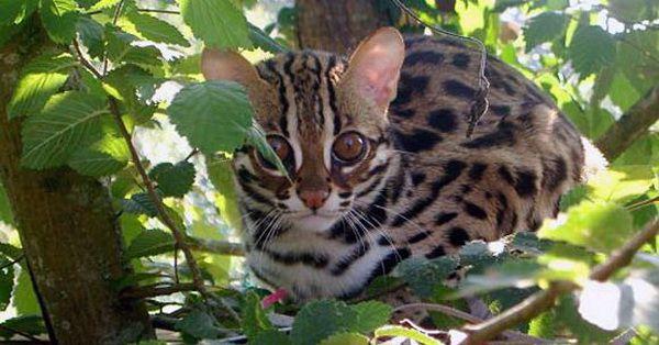 Kucing Hutan, Blacan, Macan Dahan   Tazesiru Cat's House