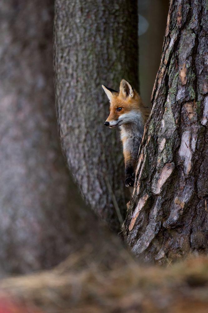 Füchse können durch 8 cm kleine Löcher kriechen. Sie springen 5 m weit und 2 m hoch.