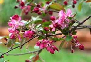 Flowering Crabapple Tree  smells as pretty as it looks