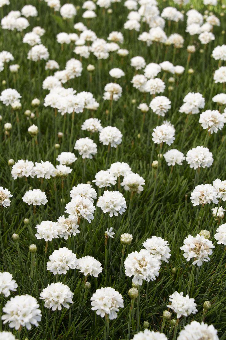 178 best perennials images on pinterest plant catalogs
