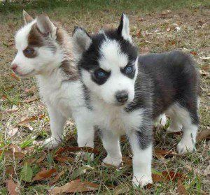 Miniature Husky puppies