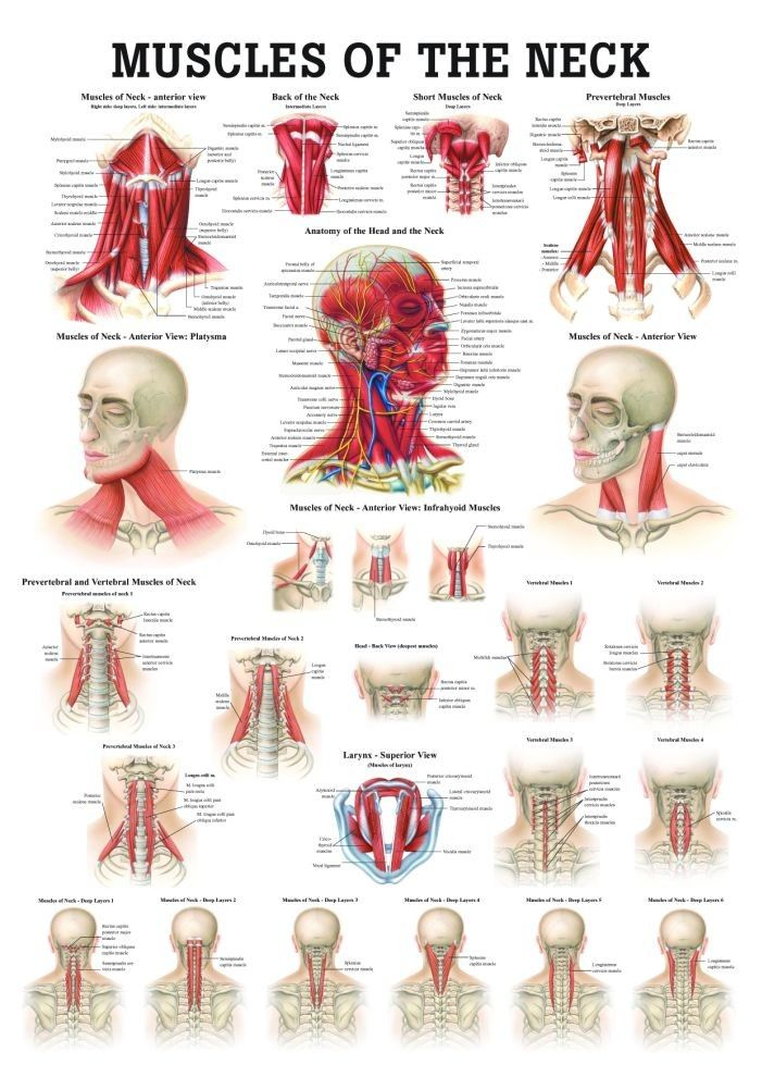 Neck muscular anatomy