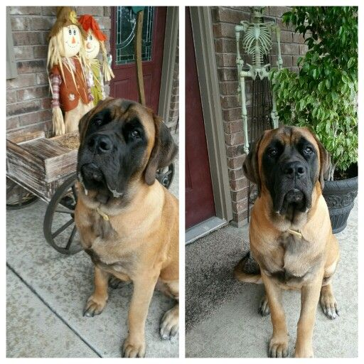 the truth about the english mastiff English mastiff, (looks like an american mastiff to me) referred to by most kennel clubs simply as the mastiff, is a breed of large dog perhaps descended from the ancient alaunt and pugnaces britanniae, with a significant input from the alpine mastiff in the 19th century.