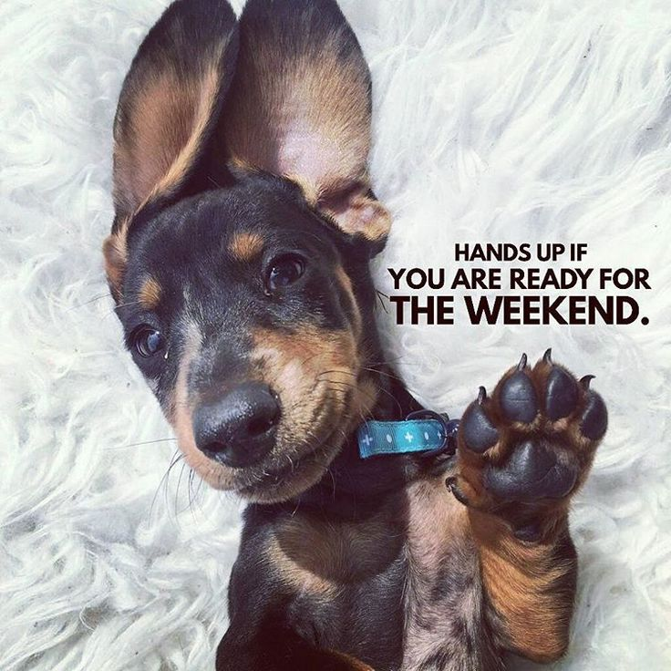 """18 Likes, 2 Comments - Dachshund Quotes & Pictures (@mydachshundfamily) on Instagram: """"Me too ✋ . @frankandzander"""""""