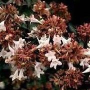 Abelia x grandiflora Suitable for Living Wall Wildlife Loving Plant. Click image to get care advice.     Other names: Glossy abelia    Genus: Abelia    Species: A. x grandiflora - A. x grandiflora is a graceful arching evergreen shrub with pointed, glossy, dark-green leaves. The young branches are brown-red in the winter.