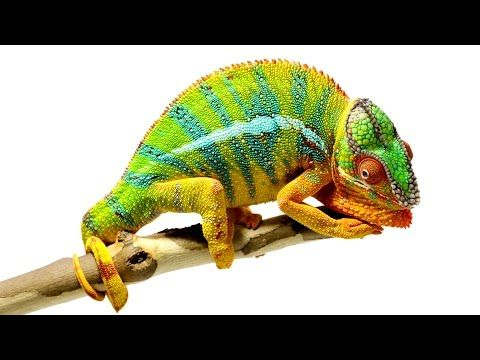 Watch Chameleons Changing Color While You Learn the Science Behind Why They Are So Cool - Cheezburger